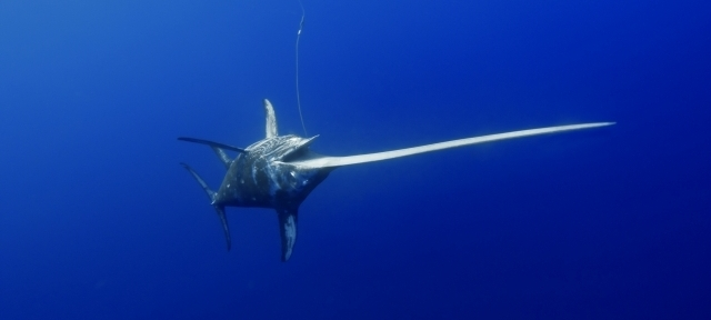 Swordfish swimming