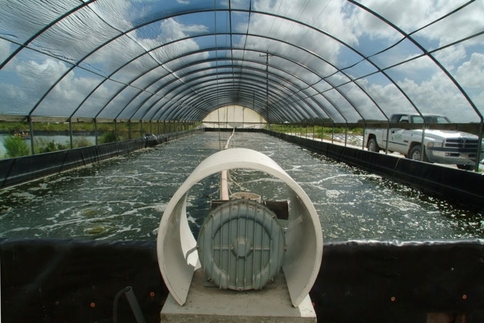 Shrimp aquaculture