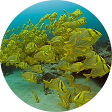 School of yellow fish